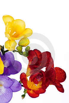 Yellow And Violet Fresia Stock Photos - Image: 23982743