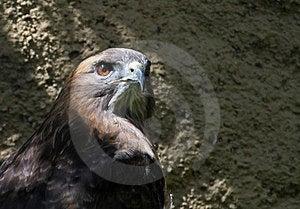Hawk Royalty Free Stock Photos - Image: 23983868