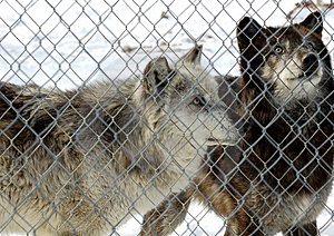 Captive Wolves Free Stock Photography