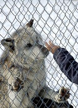 Gevangen Wolf Royalty-vrije Stock Afbeelding