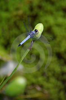 Blue dragonfly resting on a flowerbud Royalty Free Stock Photos