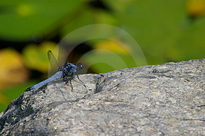Blue dragonfly on a rock Royalty Free Stock Images