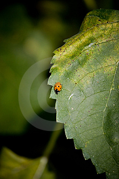 Lady Bug Free Stock Photo