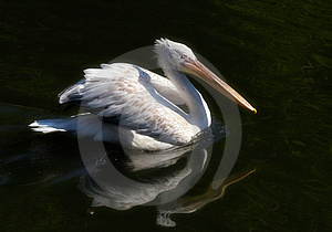 The Pelican Free Stock Images