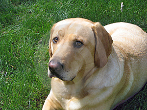 Yellow Lab Free Stock Photos