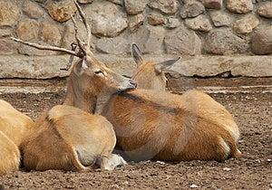 Deer With The Broken Horn Free Stock Images