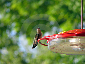 Hummingbird closeup Stock Photography