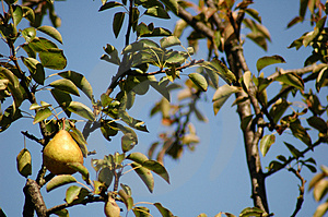 Baia Mare Pear Tree Stockfoto