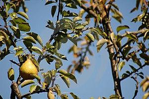 Baia Mare Pear Tree Stock Photo