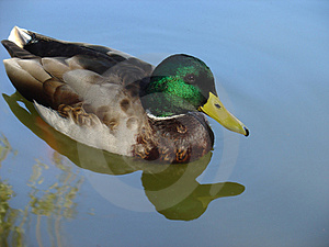 Wild Duck Free Stock Image