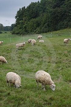 Paysage de moutons Images libres de droits
