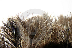 Ostrich Feathers Stock Photo