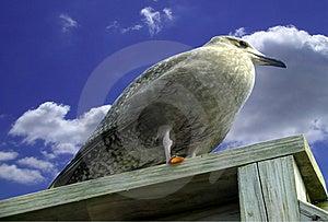 Pirchedvogel Stock Afbeeldingen