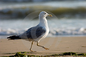 Running seagull Royalty Free Stock Image