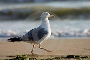Running Seagull Free Stock Image