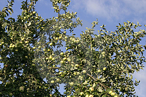 Apple-tree 1 Free Stock Photography