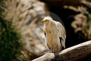 Eagle Imagens de Stock Royalty Free