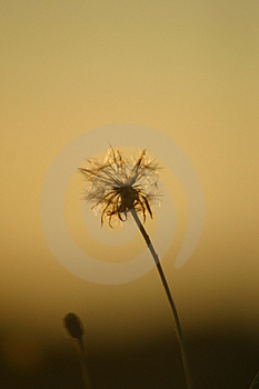 Dandelion. Royalty Free Stock Photography