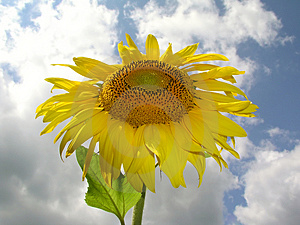 Sunflower 1 Stock Image