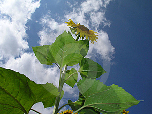 Sunflower 2 Stock Photography