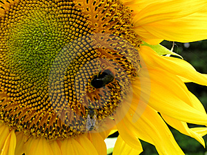 Bee And Sunflower 3 Free Stock Image