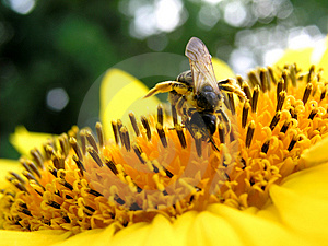 Bee And Sunflower 4 Free Stock Photography