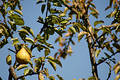 Baia Mare Pear Tree Stock Photo