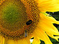 Bee and sunflower 3