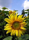Sunflower Free Stock Photography