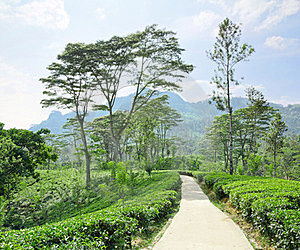 Tea Plantation  In The Mountains Royalty Free Stock Images - Image: 24008659