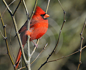 Cardinal Perched On A Limb Sunning Royalty Free Stock Images - Image: 24013879