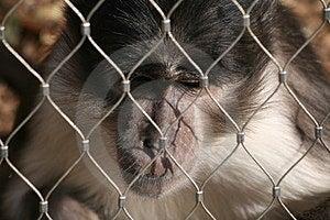 A Bored Monkey Royalty Free Stock Photo - Image: 24015375