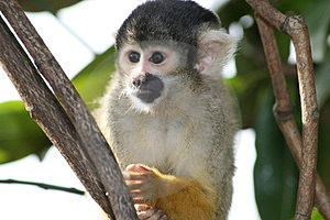 Squirrel Monkey Royalty Free Stock Images - Image: 24015429