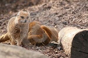 Mongoose Stock Photos - Image: 24015433