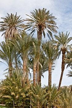 Date Palms Stock Image - Image: 24017141