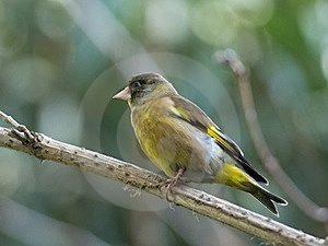 Black-headed Greenfinch Stock Photography - Image: 24078902