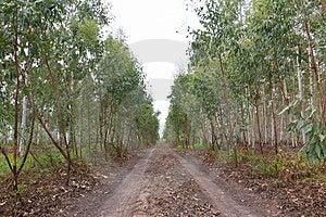 Eucalyptus Plantation Royalty Free Stock Images - Image: 24084199