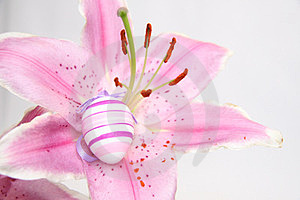 Easter Lilly  Royalty Free Stock Photo - Image: 24094765