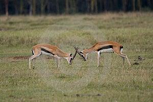 Thompson Gazelles Fighting Stock Photos - Image: 2412803