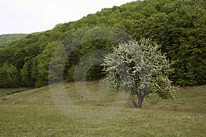 Lonely Tree In Bloom Stock Photos - Image: 2414203