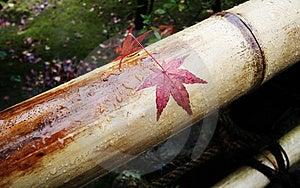 Japanese Maple On Bamboo Royalty Free Stock Photography - Image: 2414637