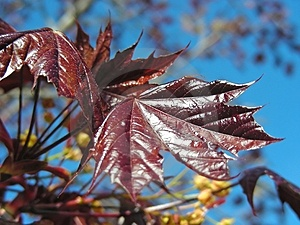 Red Maple Stock Photo - Image: 2414910