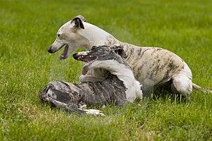 Leka Hundkapplöpning Arkivfoton - Bild: 2419773