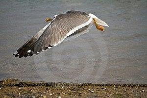 Flying Seagull Stock Image - Image: 24102411