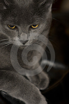 Gray Cat Stock Photo - Image: 24106230