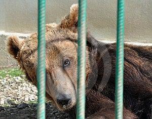 Bear Zoo Cage Royalty Free Stock Photos - Image: 24109018