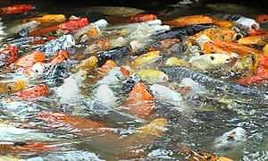Hungry Fish Crowd Royalty Free Stock Photography - Image: 24110737