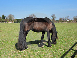 Grazing Bay Horse With Plaited Mane Royalty Free Stock Photo - Image: 24111795