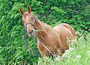 Portrait Of Nice Red Horse Stock Photo - Image: 24134500