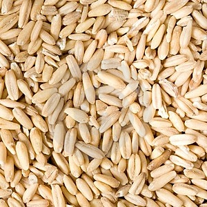 Oat Growth Stock Image - Image: 24146351